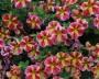 Calibrachoa - Celebration® Candy Bouquet