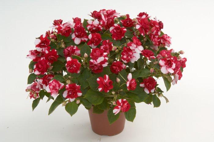 Бальзамин цветок уход в домашних условиях фото