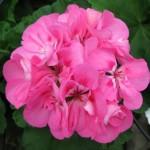 Geranium - Zonal - Patriot™ Tickled Pink