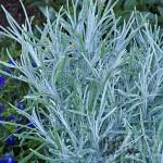 Helichrysum - Licorice Icicles