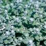 Helichrysum - Licorice Petite