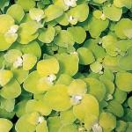 Helichrysum - Limelight