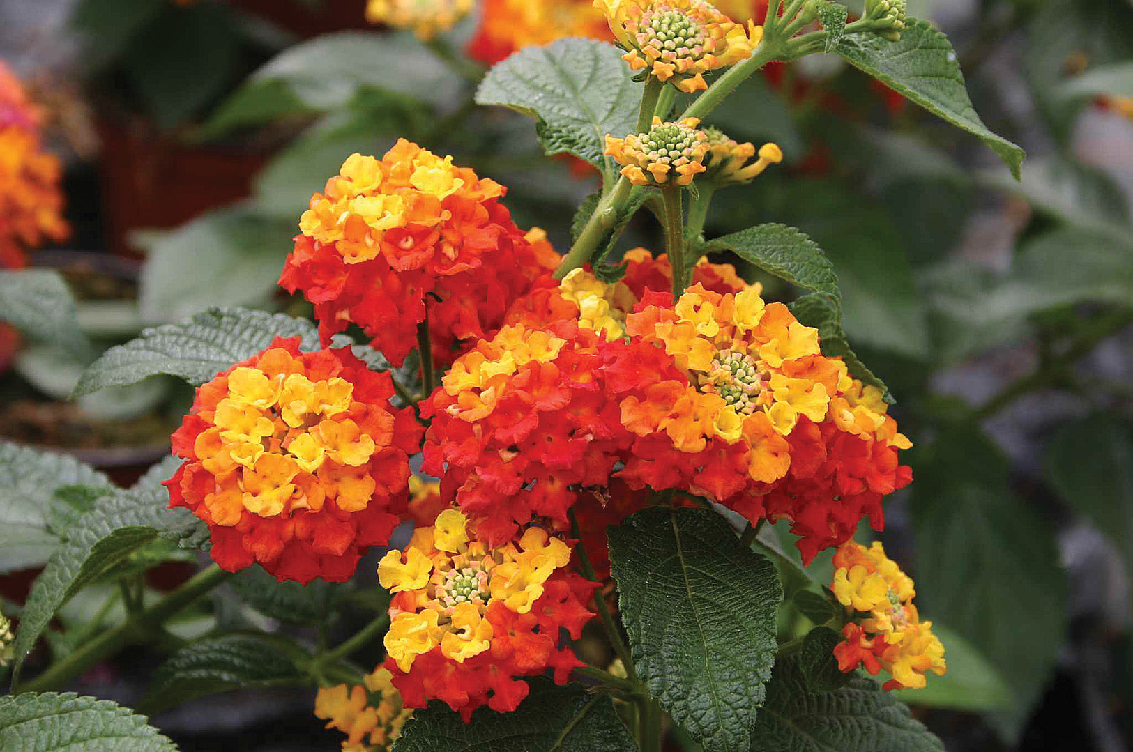 Lantana-Evita-Red Red Vining Houseplants on flowers red, orchids red, pots red, ornamental grasses red, peppers red, design red, nature red, cactus red, berries red, mums red, animals red,