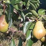 Pear - Luscious