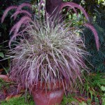 Pennisetum Cherry Sparkler 2
