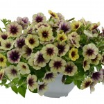 Petunia - Vegetative - Cascadias™ Autumn Mystery