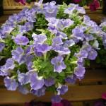 Petunia - Glow® Blue Stardust