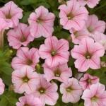 Petunia - Mini - Littletunia® Pink