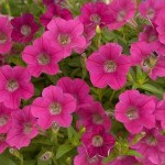 Petunia - Mini - Littletunia® Rose