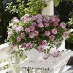 Verbena - Estrella™ Pink Ballet