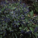 Viburnum - Blue Muffin® Arrowwood