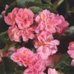 Begonia - Doublet™ Rose