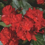 Begonia - Doublet™ Red