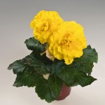 Begonia - Nonstop® Yellow Red Back