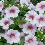 Calibrachoa - Noa™ Almond Blossom