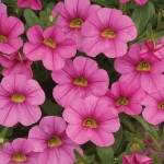 Calibrachoa - Noa™ Mega Pink