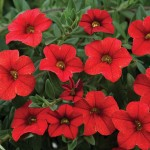 Calibrachoa - Noa™ Red Improved
