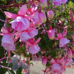 Fuchsia Mini - Sunbeam® Paloma