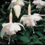 Fuchsia - Pink Marshmellow