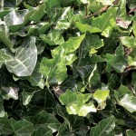 Hedera (English Ivy)