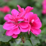 Geranium - Ivy - Global™