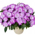 Impatiens - New Guinea - Harmony® Radiance™ Lilac