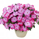 Impatiens - New Guinea - Harmony® Radiance™ Pink