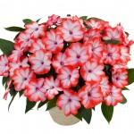 Impatiens - New Guinea - Harmony® Radiance™ Scarlet