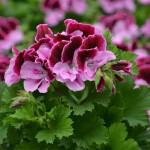 Geranium - Regal Elegance™ Purple Majesty
