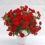 Verbena - Estrella™ VooDoo Red
