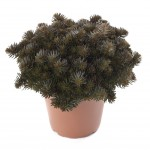 Sedum Creeping - Chocolate Ball