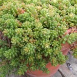 Sedum Creeping - Coral Carpet