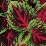 Coleus - Kong® Red
