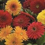 Gerbera - Cartwheel Autumn Colors