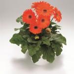 Gerbera - Royal Deep Orange