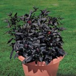 Ornamental Peppers Black Pearl