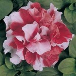 Petunia - Double Madness® Red & White