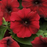 Petunia - Easy Wave® Velour Red