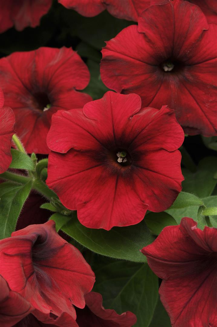 Petunia Easy Wave 174 Velour Red Ymker Greenhouse And