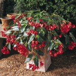 Begonia - Angel Wings - Dragon Wing® Red