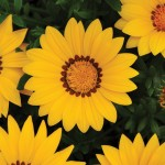 Gazania - New Day Yellow