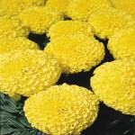 Marigold - African - First Lady