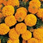 Marigold - African - Inca II Orange