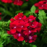 Verbena - Obsession™ Red