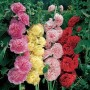 Alcea (Hollyhock) - Chaters Double Mix