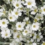 Cerastium silver carpet1