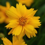 Coreopsis - Sun Up