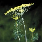 Dill Fearnleaf