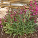 Penstemon - Riding Hood Hot Pink