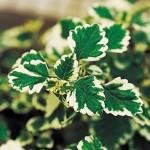 Plectranthus variegated